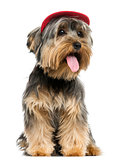 Yorkshire Terrier wearing a cap, sitting, panting, 9 months old,