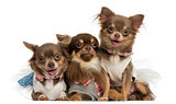 Group of dressed-up Chihuahuas panting, looking at the camera, i