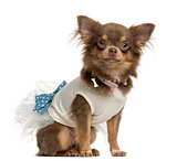 Dressed-up Chihuahua sitting, isolated on white