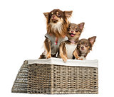 Group of dressed-up Chihuahuas looking away in a wicker basket,