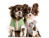 Two dressed-up Chihuahuas sitting next together, isolated on whi