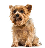 Yorkshire terrier sitting, looking at the camera, 6 years old, i