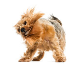 Yorkshire terrier standing, shaking, 6 years old, isolated on wh