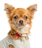 Close-up of a dressed-up Chihuahua, looking at the camera, 1 yea