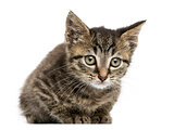 Front view of an European shorthair kitten lying, looking at the