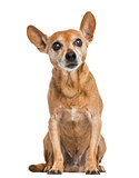 Front view of an old German pinscher, 13 years old, isolated on
