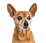 Close-up of an old German pinscher, 13 years old, isolated on wh