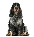 Front view of an English cocker spaniel sitting, 8 years old, is