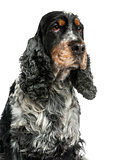Close-up of an English cocker spaniel, looking up, 8 years old,