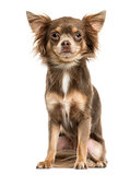 Front view of a Chihuahua sitting, 2 years old, isolated on whit