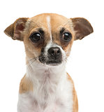 Close-up of a Chihuahua, 10 months old, isolated on white