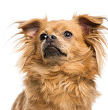 Close-up of a Chihuahua looking up, 8 months old, isolated on wh