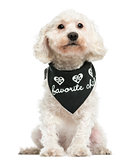 Front view of a Poodle wearing a bandana, sitting, 8 years old,