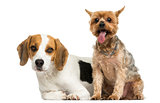 Yorkshire Terrier and Beagle puppy next to each other, isolated