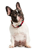 Front view of a French Bulldog sitting, looking up, 7 months old