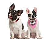 Front view of French Bulldogs sitting together, isolated on whit