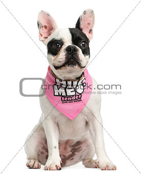 French Bulldog puppy wearing a pink bandana sitting, 6 months ol
