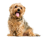Yorkshire Terrier sitting, panting, 5 years old, isolated on whi