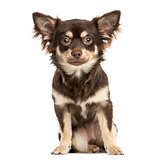 Front view of a Chihuahua sitting, looking at the camera, 7 mont