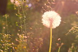 Vintage background with dandelion