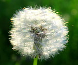 Beautiful summer dandelion on a green background closeup