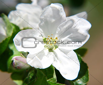 White apple spring flowers