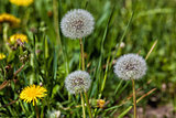 Yellow and white dandelions in a green grass