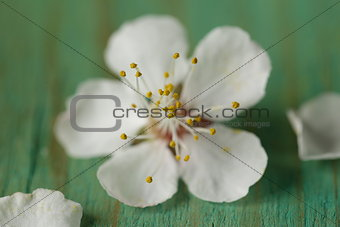 macro shot of cherry blossoms - focus on stamens