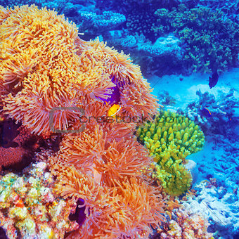 Clown fish in coral garden