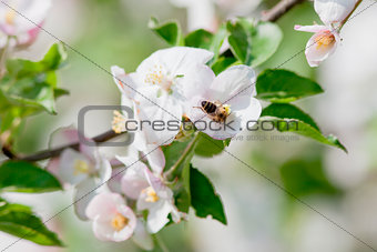 apple tree in blossom