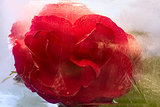 Frozen   red   rose flower