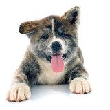 puppy akita inu