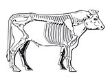 Cattle skeleton