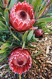 Two blooming protea flowers