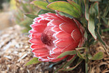 Protea Sugarbush flowering in the garden