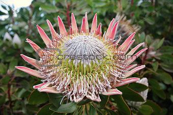King Protea  Cynaroides