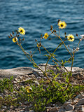 wild flower on the coast