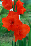 Bright red gladiolus