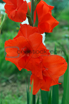 Bright red gladiolus