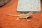 Wild lizard in the desert sand