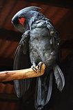 Black macaw