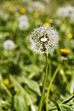 Dandelion head with seeds on the meadow