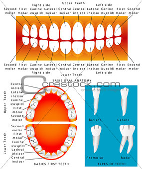 Anatomy of children teeth