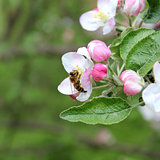 closeup shot of apple blossoms with a bee in spring forest,