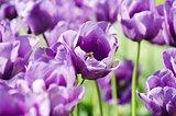 Violet Tulip
