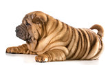 chinese shar pei puppy