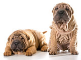 two chinese shar pei puppies