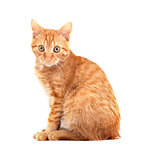 Red cute cat