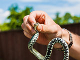 Holding A Grass Snake
