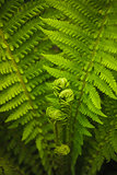 Young Fern Leaf.